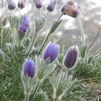 雪山に咲くキキョウ