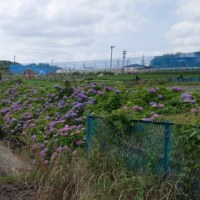 JA横浜北の裏手の大熊川沿いのアジサイの盛りは来週ぐらいかな
