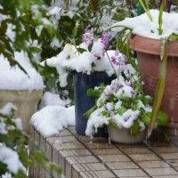 雪から顔を出すクリスマスローズ