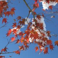 雪と楓のコラボレーション