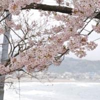 成就院から見た桜
