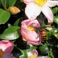 山茶花に足長蜂