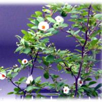 梅雨に似合う花(^^♪沙羅双樹をイメージして「沙羅の木」(さらのき)と呼ばれる「ナツツバキ(夏椿)」