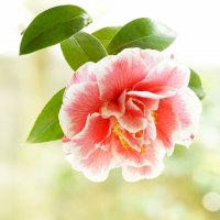 椿 (花 4308)