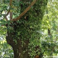 マメヅタ 擁壁や樹幹に這い描く