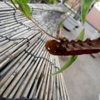 虫、スズメガの幼虫、多分コスズメ