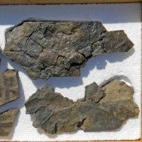 ザミテスの一種とシダ化石