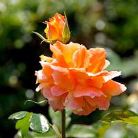 「写真&俳句!」 早暁の目におほらかや薔薇の花