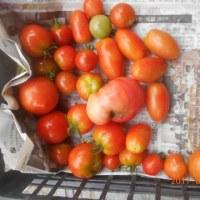 今日の収穫 キュウリ インゲン ジャガイモ キャベツ トマト