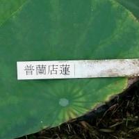 5月13日 普蘭店蓮を植えました