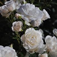 バラは気高く咲いて 2017春 伊奈町バラ園