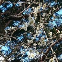庭の白梅...咲いた