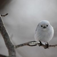 野鳥観察 シマエナガ