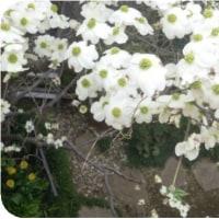 ◯【我が家の花水木】・・・・・・25年にして今だ満々開⇔残念なのは真上から観覧!