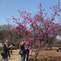 新宿御苑の横浜緋桜