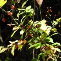 高ボッチ高原・鉢伏山で最近見る事の出来る実・種 コマユミ(小真弓)