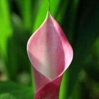 カラー ピンク