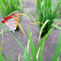 田んぼで紅シジミ蝶