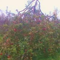 今年のリンゴ狩り