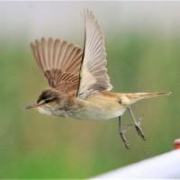 今日の野鳥   ヨシゴイ・オオヨシキリ