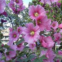 立葵の季節
