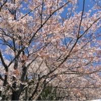 見ごろ!七ツ森の桜