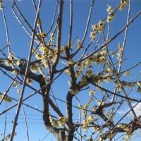 蝋梅(ロウバイ)咲く