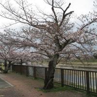 待ちに待った桜が咲きました~