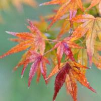 秋色。。。庭のモミジ☆