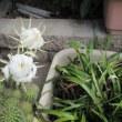 キュウリ・サボテンの花 我が家の庭は大忙し