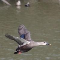 フリー素材 : 野鳥 ・ 翡翠  於大公園のカルガモ