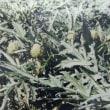 アーティチョーク(artichoke)