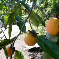 楽しい園芸 山の柿