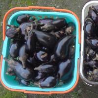 バショ菜の収穫