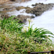 7/27探鳥記録写真(狩尾岬の鳥たち:キアシシギほか)