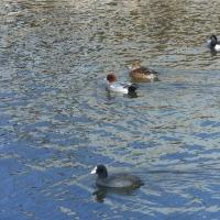 運河は水鳥で大賑わい