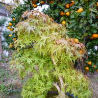 2014盆栽テクニック(もみじの葉がり)