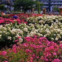 梅雨入り直前の花