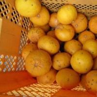 マーマレードとオレンジピールを作る