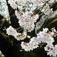 細川呉港著、「桜旅」(愛育社出版)のご紹介