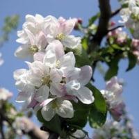 藤圭子 リンゴの花が咲いていた
