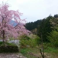 正善寺の釣鐘桜
