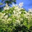 <シマトネリコ(島梣)> 涼しげに風にそよぐ姿が人気の常緑樹