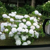 紫陽花便り…1