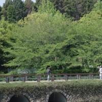 於大公園の花 : モッコウバラ ・・・ 八重桜が終わった公園の姿は一気に初夏の緑になってきました。