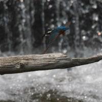 「鯉」も「カワセミ」も・・・飛んで飛んで・・・!!
