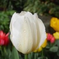 雨粒がキラキラのチューリップ