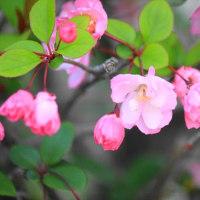 桜にばかり目がいくけど、ハナカイドウも咲く時期ですね。