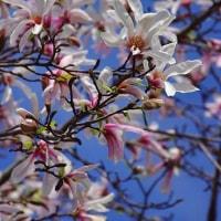 ピンク色のコブシ咲きだす