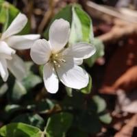 六甲山植物園の花 4月16日 その4 カタバミ エンレイソウ サンカヨウ